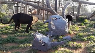 Paper mache Rhino enrichment! thumbnail