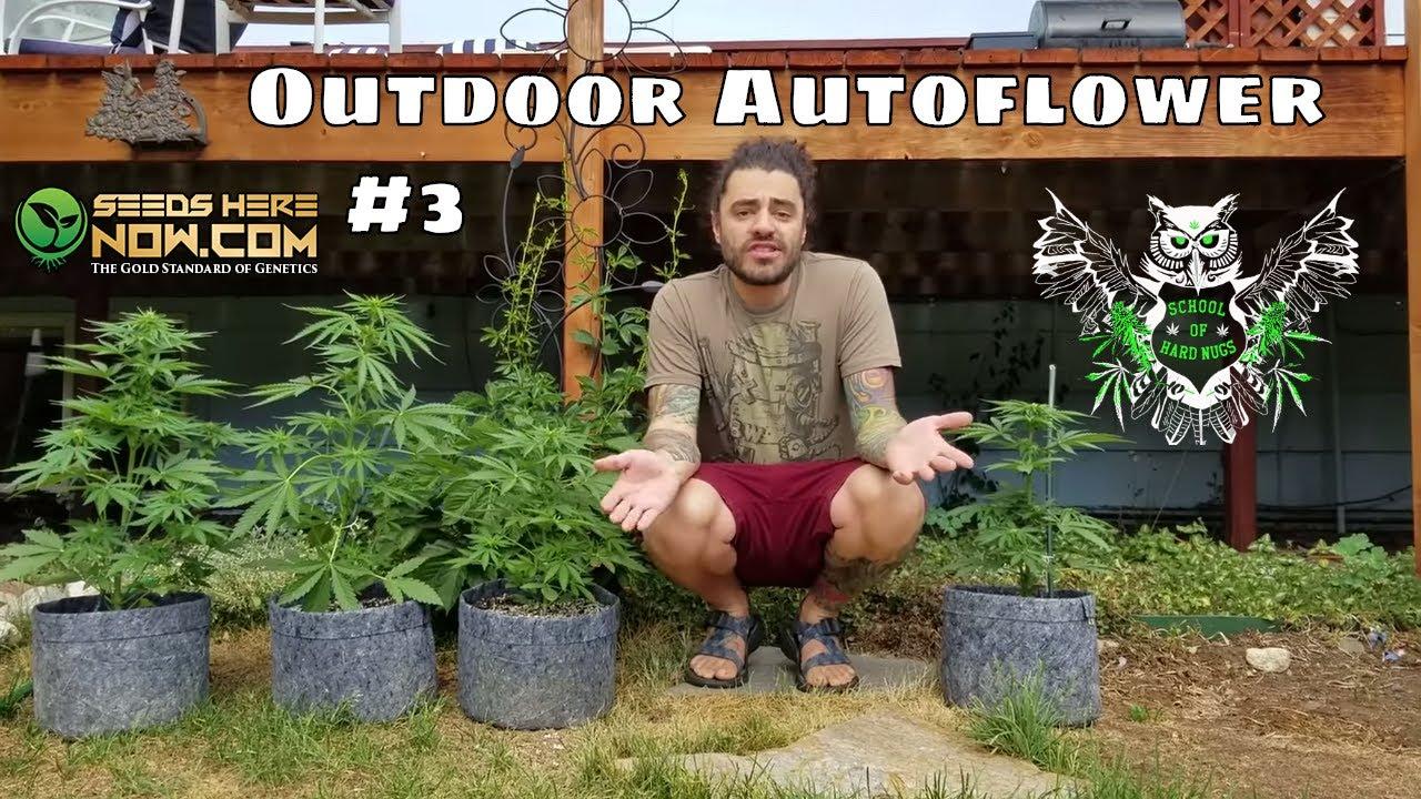 Outdoor Autoflower 3- Seed to Harvest- High-Altitude Gardening Marijuana