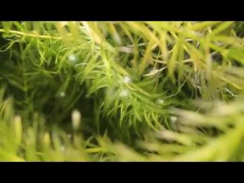HOW TO: KNOW GOLDFISH EGGS ARE FERTILIZED (BREEDING GOLDFISH EP 5)