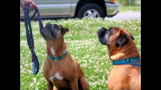 Roxi And Oceanus, 7-year-old Bonded Boxers***rescued*** In Manahawkin, Nj