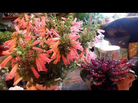 комнатные растения - вереск, эрика