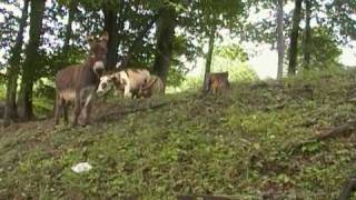 Donkey Mating Ritual at Woodleigh Farm