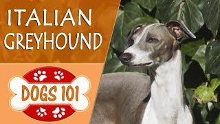 Dogs 101  ITALIAN GREYHOUND  Top Dog Facts About the ITALIAN GREYHOUND