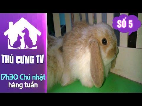 Thú cưng TV - Số 5  (P4) - Cách nuôi thỏ Minilop | YOUTV