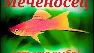Аквариумные рыбки. Меченосец.(Меченосец - это живородящая рыбка из семейства пецилид, отряда карпозубых. В природе встречается в водах..., 2016-03-21T14:29:00.000Z)
