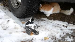 Тигр на охоте 2(кот поймал пцицу., 2015-11-04T07:50:38.000Z)