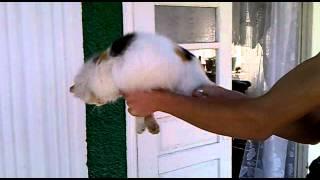 Mafioza1MD and Kaptain Black Gherakul cat
