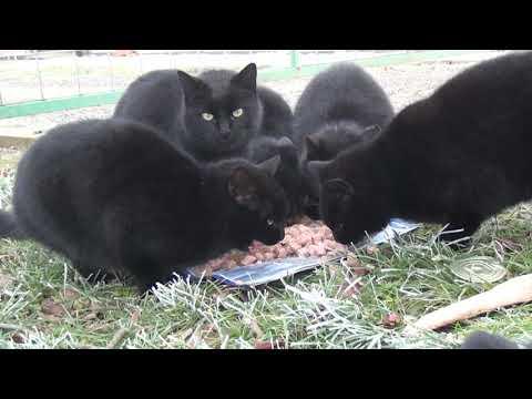 Crna maca na videu