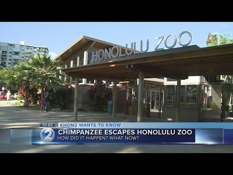 Chimpanzee escape triggers evacuations at Honolulu Zoo