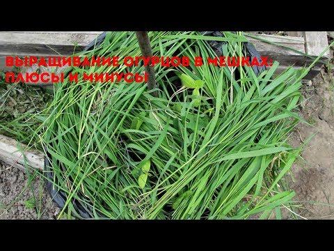 Выращивание огурцов мешках: плюсы и минусы