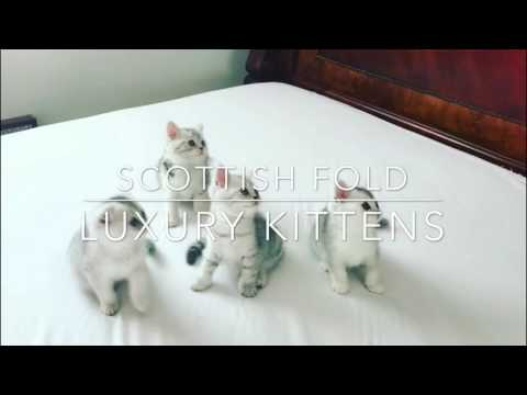 Adorable Scottish Fold and Scottish Straight Kittens