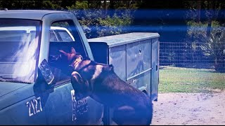 Police Dog Jumps Into Truck Window Slo Mo!