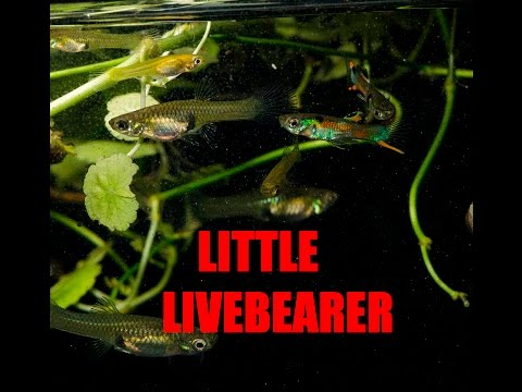 Fantastic Beginner Fish -Endler's Livebearer