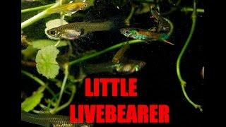 Fantastic beginner fish -Endler
