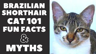 Brazilian Shorthair Cats 101 : Fun Facts & Myths