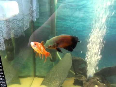 Feeding My Oscar Goldfish-part 2