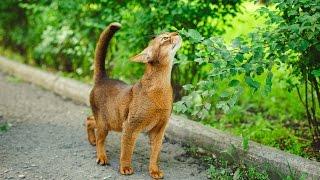 """""""Прогулки с Бенджамином"""". Абиссинский кот."""