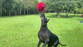 Great Dane Has Fun Pouncing And Bouncing With Her Toy