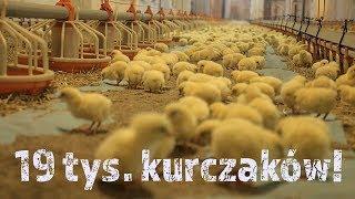 Przyjęcie na fermę 19 000 kurczaków