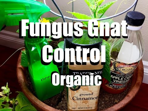 How to Control Fungus Gnats Organically // Growing Your Indoor Garden #8