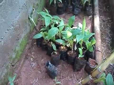 Nursed Plantain Seedlings in