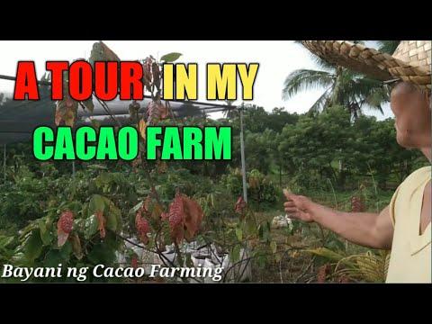 My cacao farm / Cacao farming