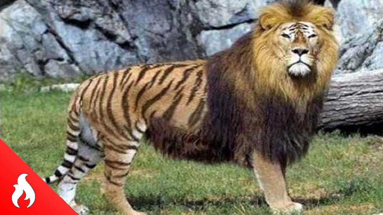 Imagenes increibles de animales top 5 animales hibridos reales mas increibles y raros del - Imagenes de animales apareandose ...