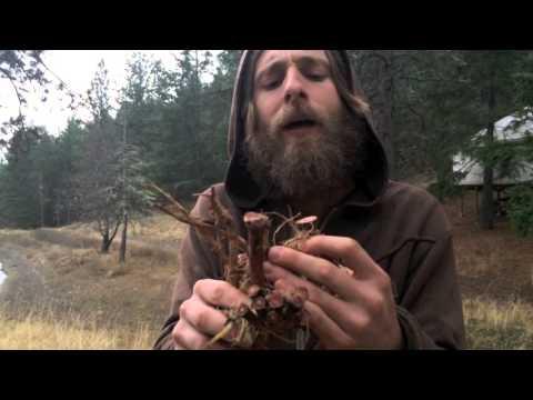 Alchemical Herb Profile: Dandelion (Taraxacum officinale)