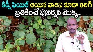 కిడ్నీ ఫెయిల్ అయిన వారిని బ్రతికించే పునర్నవ మొక్క   Tella Galijeru atikamamidi plant uses in Telugu
