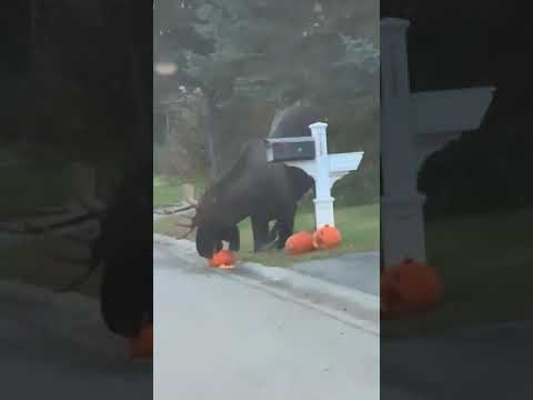 Dan & Shelby - Moose Eating a Halloween Pumpkin is What We Need Right Now
