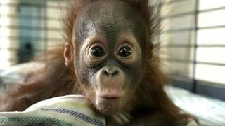 Я с этом видео показываю смешные обезьяны
