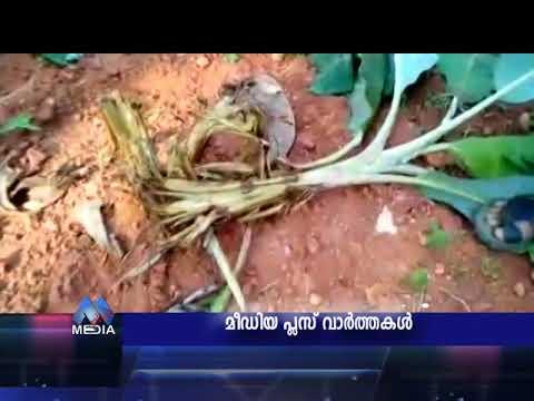 144. wild animal attack on agri fields | kavanoor elayoor area| media plus news