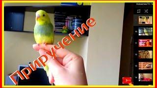 Приручение попугая  День6-ч2 Попугай в шоке сел на палец👀🐤 #Птицы