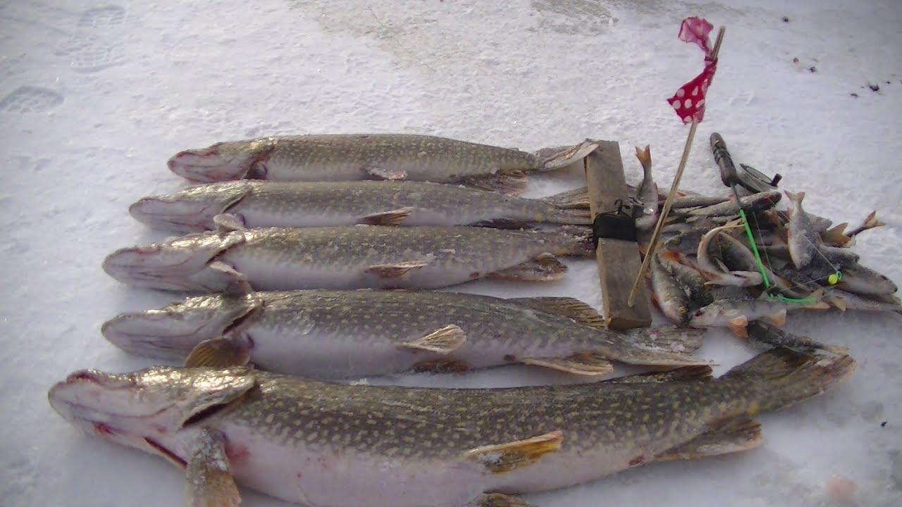 Ловля щуки на жерлицы Необычная наживка для рыбалки