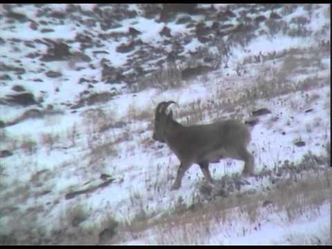 Козерог- сибирский горный козёл