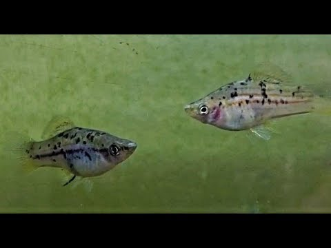 Xiphophorus!!! Domestic & Wild-Type - Swordtails, Variatus, Continens! #SoMuchLife