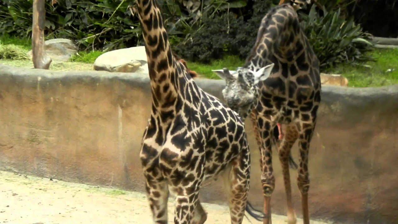 Kids witness Giraffe's mating - YouTube  Kids witness Gi...
