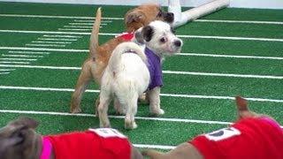 Super Bowl 2013 Inspires Puppy Bowl: Sneak Peek at Doggie Football Event