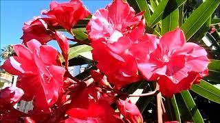 Красивые деревья, эвкалипт, цветущие кустарники, олеандр, бугенвиллия, Коста дель Соль, 07/2018