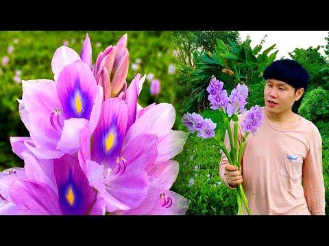 """หลายคนอาจไม่รู้จัก ดอกผักตบชวา : Many people may not know """"Water Hyacinth flower"""" : 水葫芦花"""