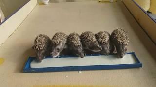 Return to the nature Hedgehog  Επιστροφή στη φύση Ακανθοχοιρος
