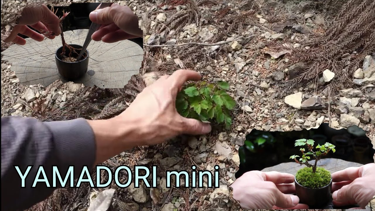 【Bonsai diary】  Naturl Bonsai 夏蔦(ナツヅタ)を山採りしてミニ盆栽作り ♯203