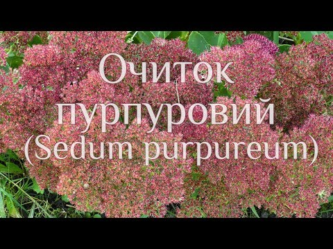 Очиток пурпуровий  (Sedum purpureum)