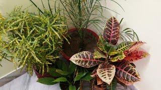 पत्तियां  पीली नहीं होंगीऔर ना पौधा सूखेगा,croton propogation and complete care,anveshas creativity