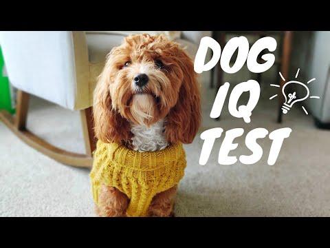 How Smart is a Cavapoo? | DOG IQ TEST