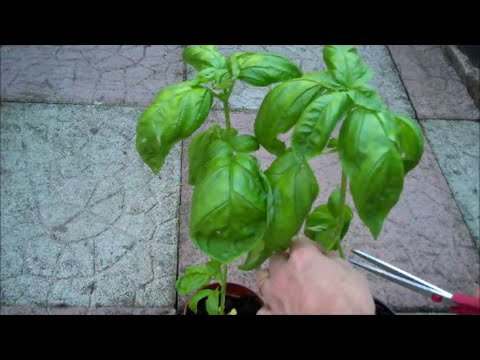 How to Grow Basil from Seed