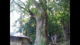 早川の樹木ー4  クスノキ(紀伊神社)と羊歯たち