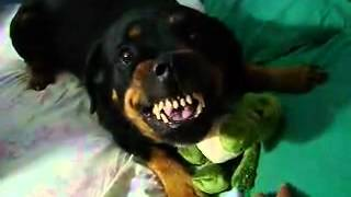 Rottweiler Protecting Toy Alligator