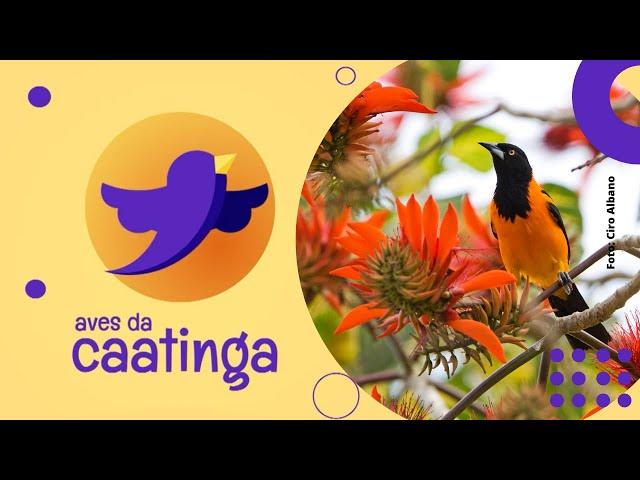 AVES DA CAATINGA #07 Corrupião (Icterus jamacaii)