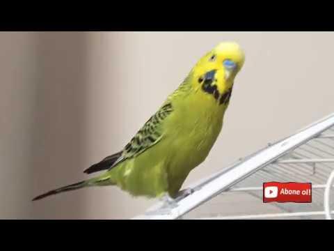 Muhabbet Kuşu Fıstık Konuşturmaya Devam #dinletkonuşsun